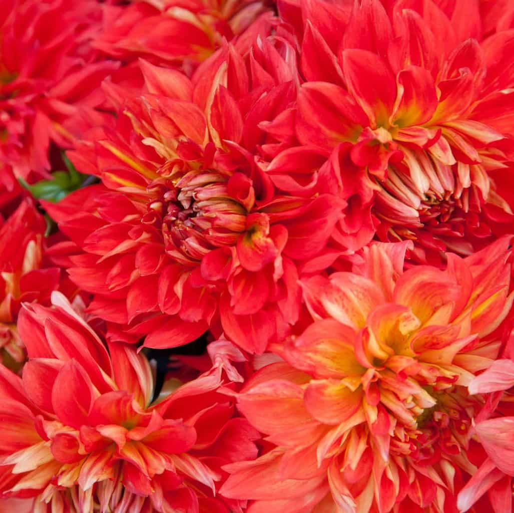 Divine dahlia and other flowers trix rosen photography footer izmirmasajfo