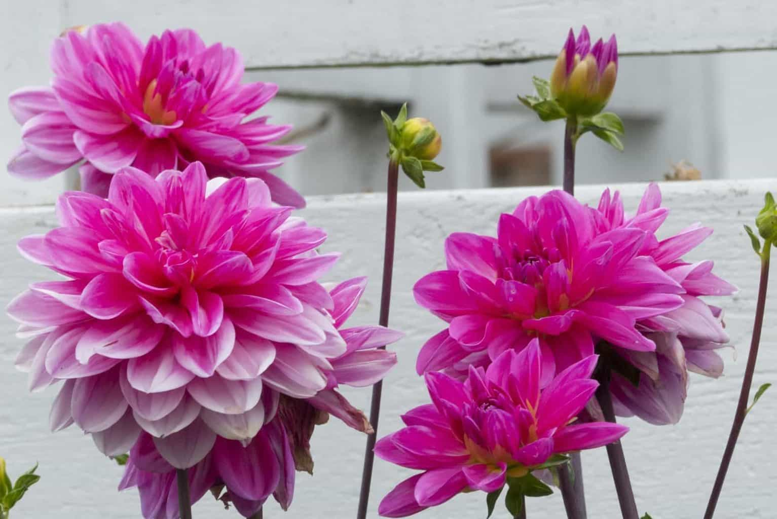 Divine Dahlia And Other Flowers Trix Rosen Photography