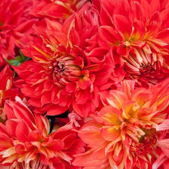 Photography, Flower Photography, Dahlia Photography